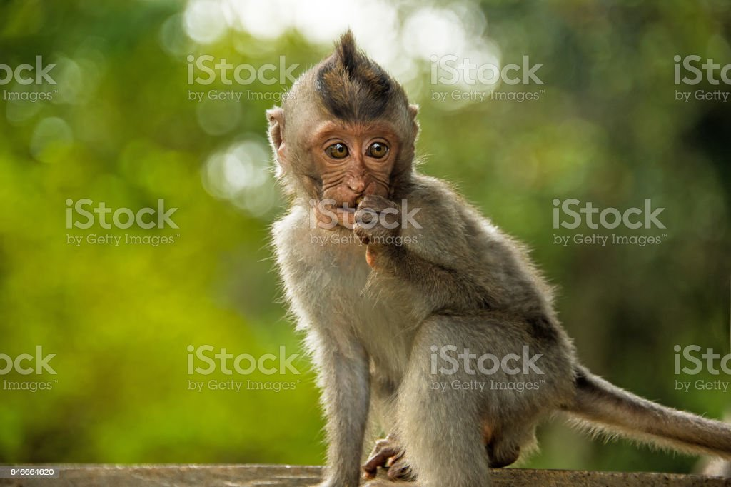 little Catarrhini catarrhini the old world with large round sits close stock photo