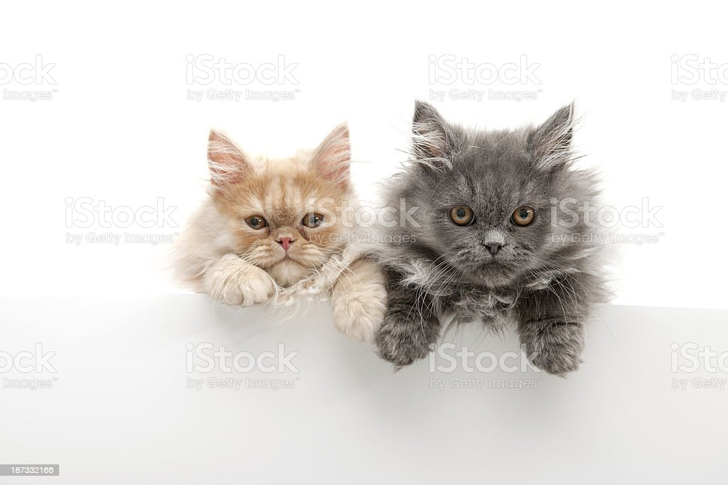 little cats royalty-free stock photo