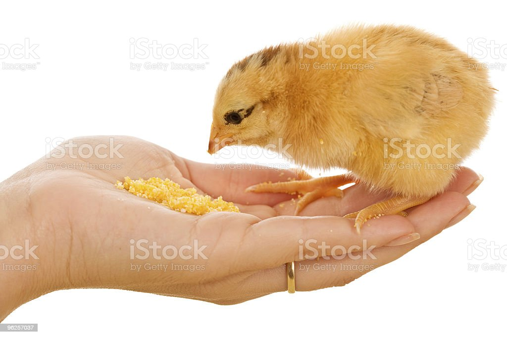 Little chick eating from hand royalty-free stock photo