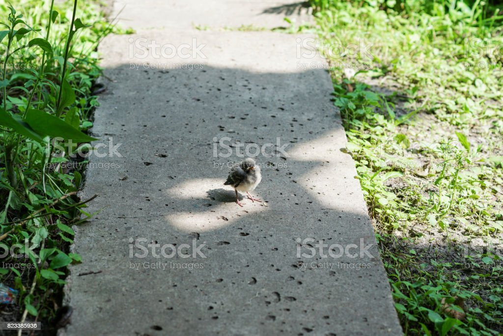 little chick in glory stock photo