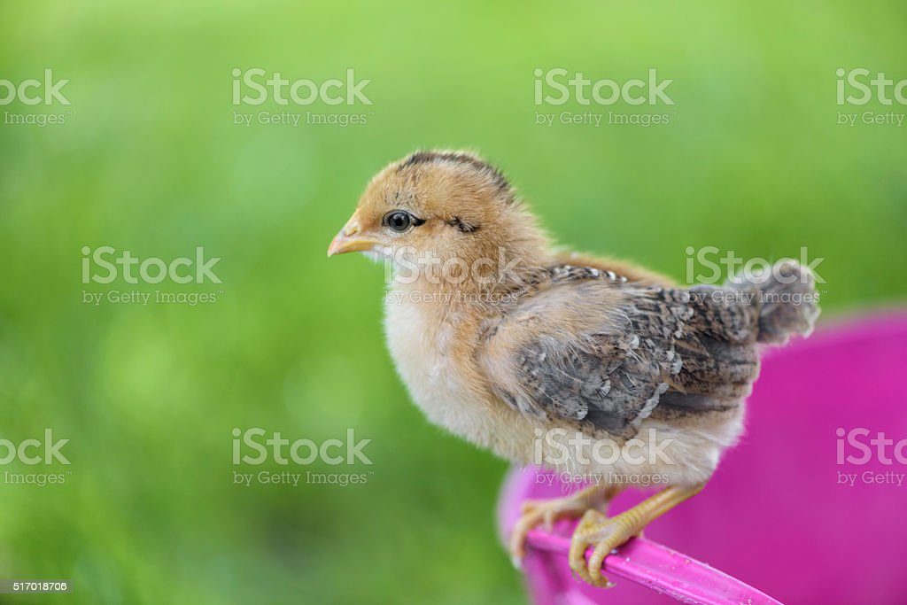 Little chick stock photo