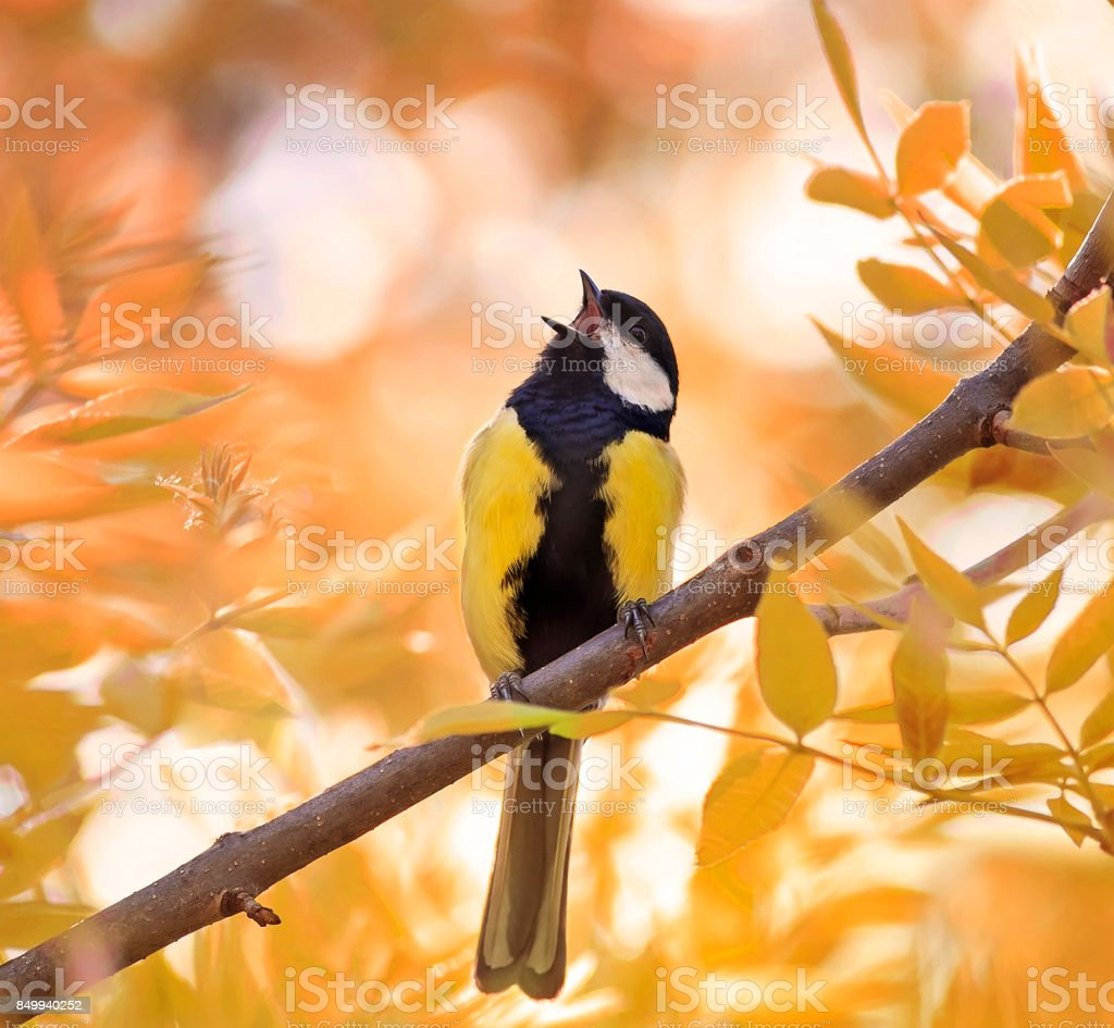little chickadee sings a song in autumn forest in Sunny day stock photo