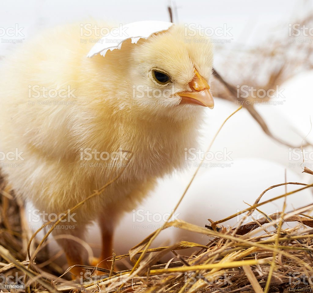 Little chicken is in a nest stock photo