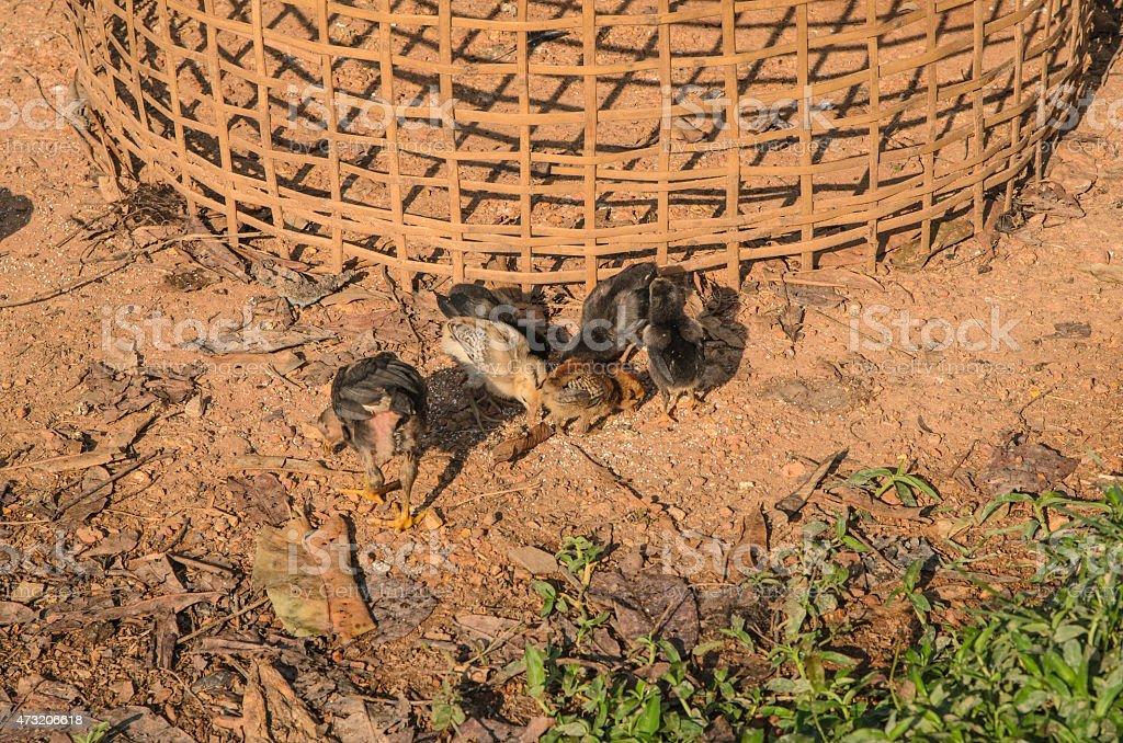 Little Chicken of ground stock photo
