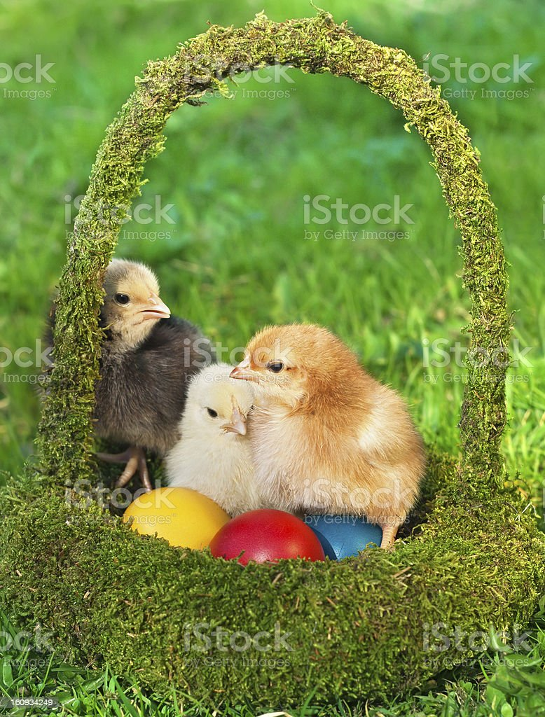 Little chickens in the basket with eggs royalty-free stock photo