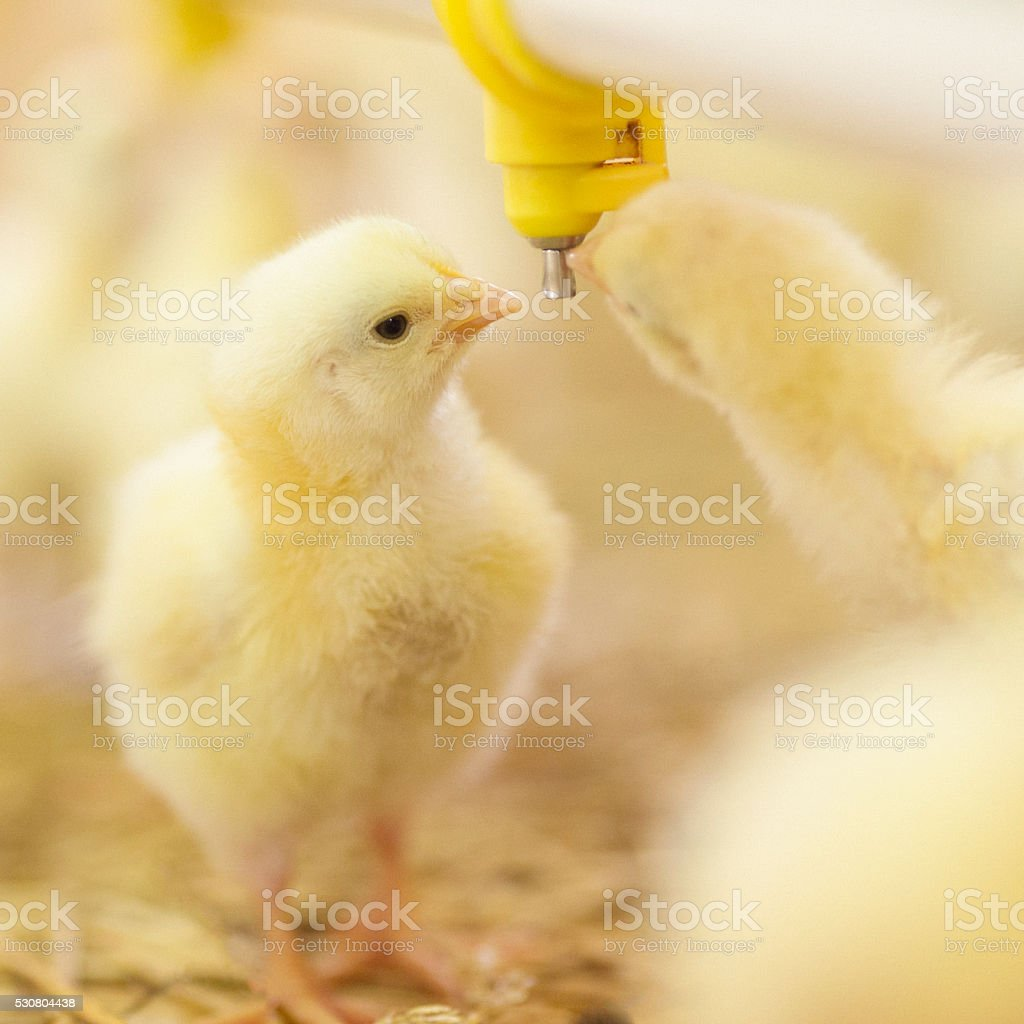 Little chicks at farm drinking water stock photo