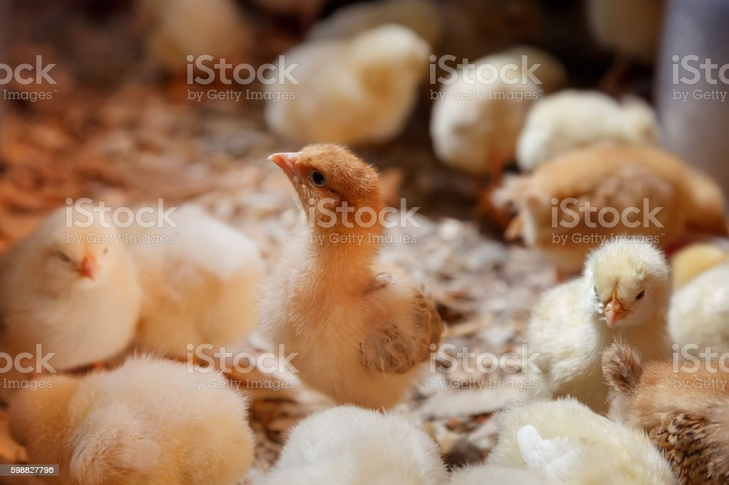 Little chicks on a poultry farm stock photo