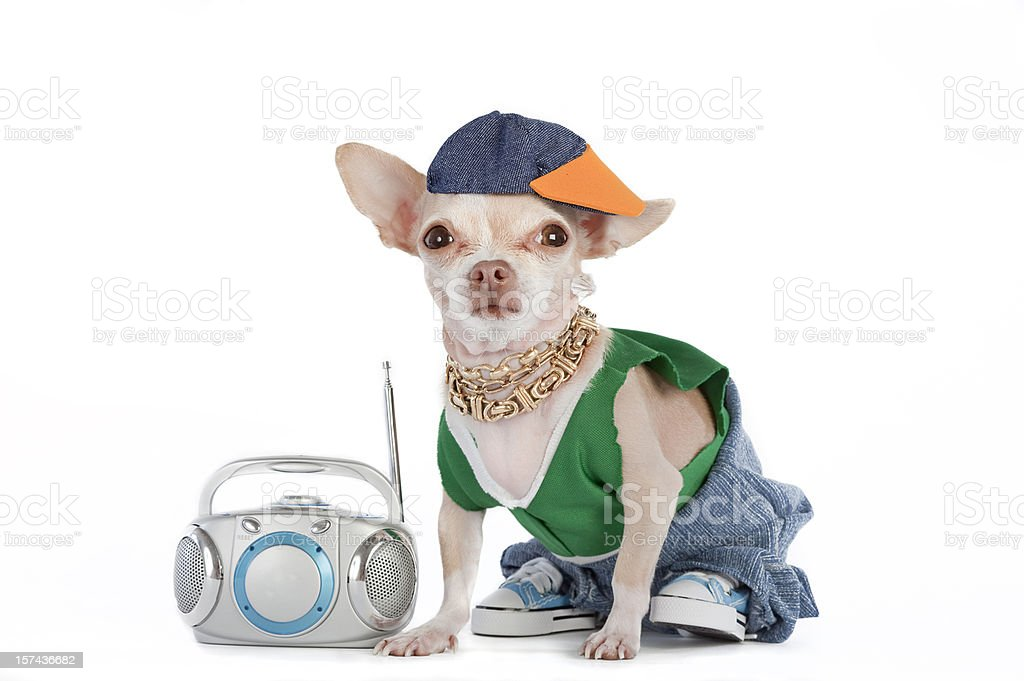 A little Chihuahua dog dressed like a rapper with a boombox  stock photo
