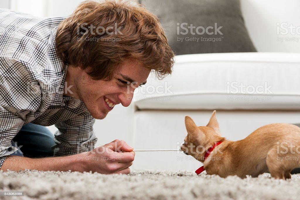 Little chihuahua having fun and games stock photo