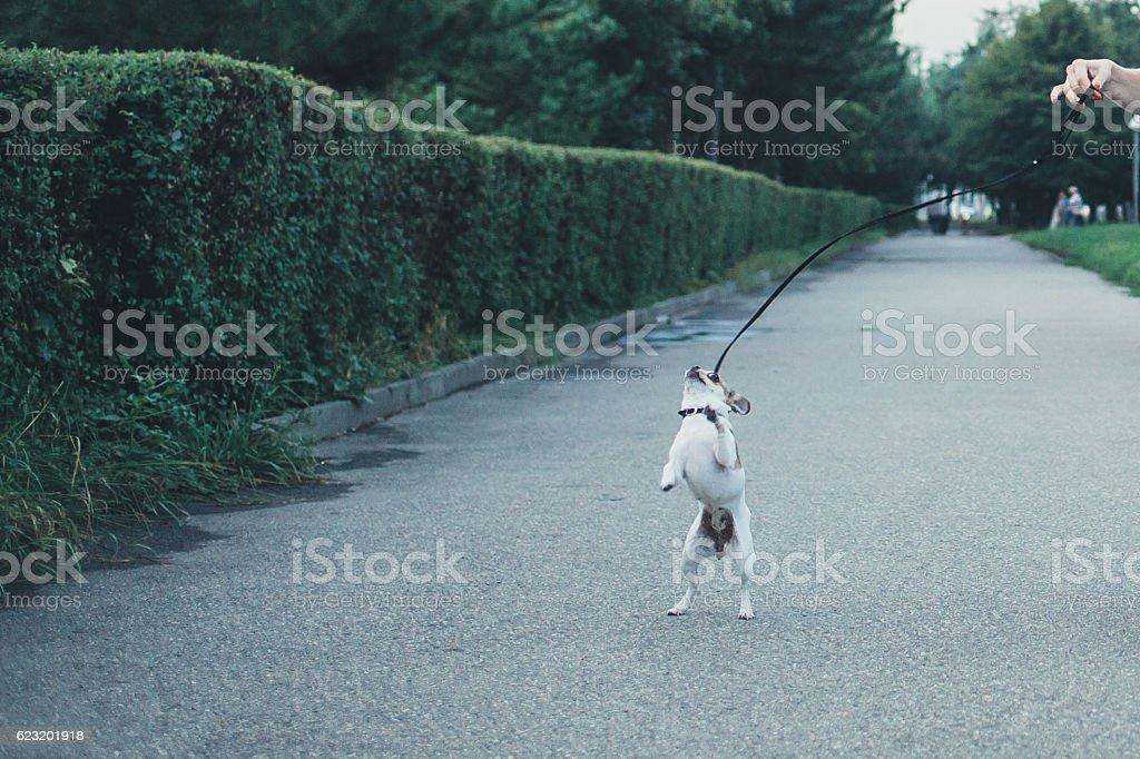 Little Chihuahua on a walk stock photo