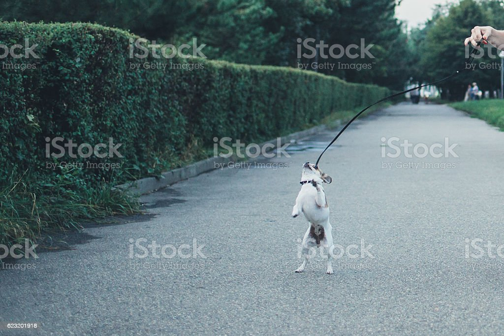 Little Chihuahua on a walk stock photo