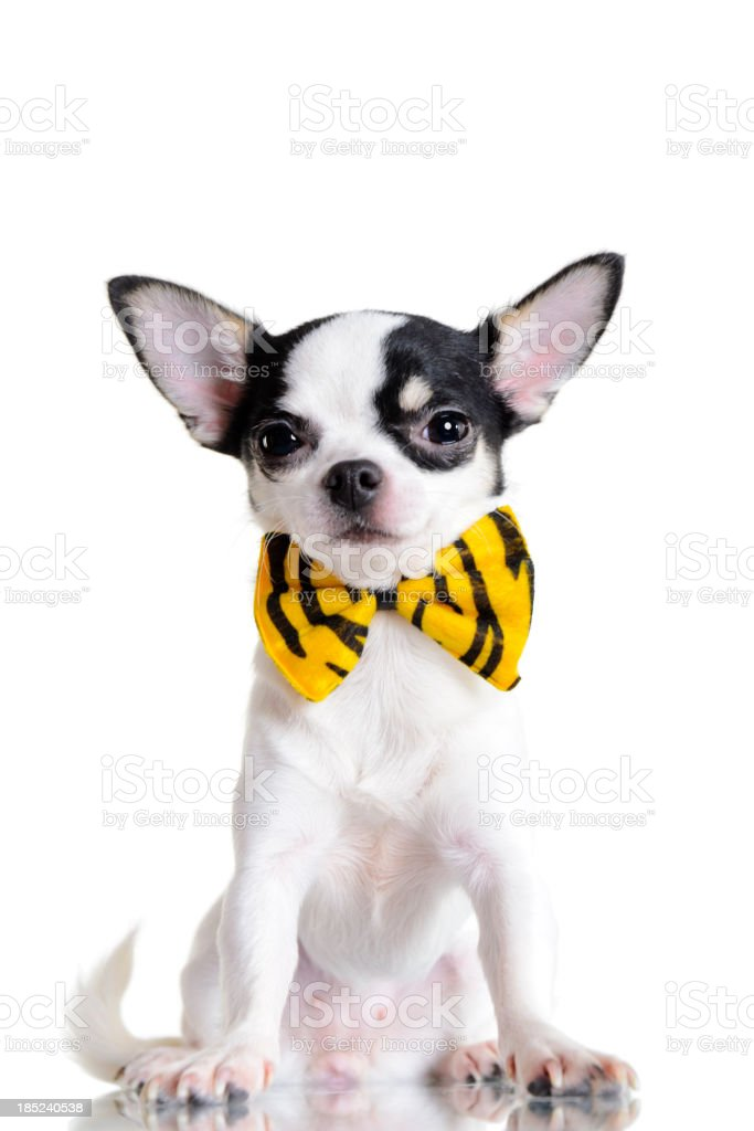 Little Chihuahua royalty-free stock photo