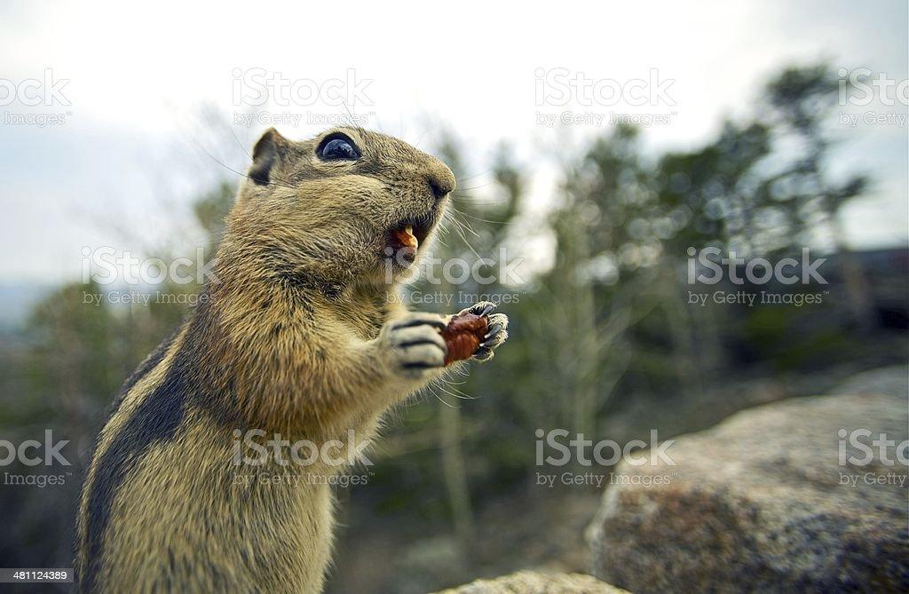 Little Chipmunk stock photo