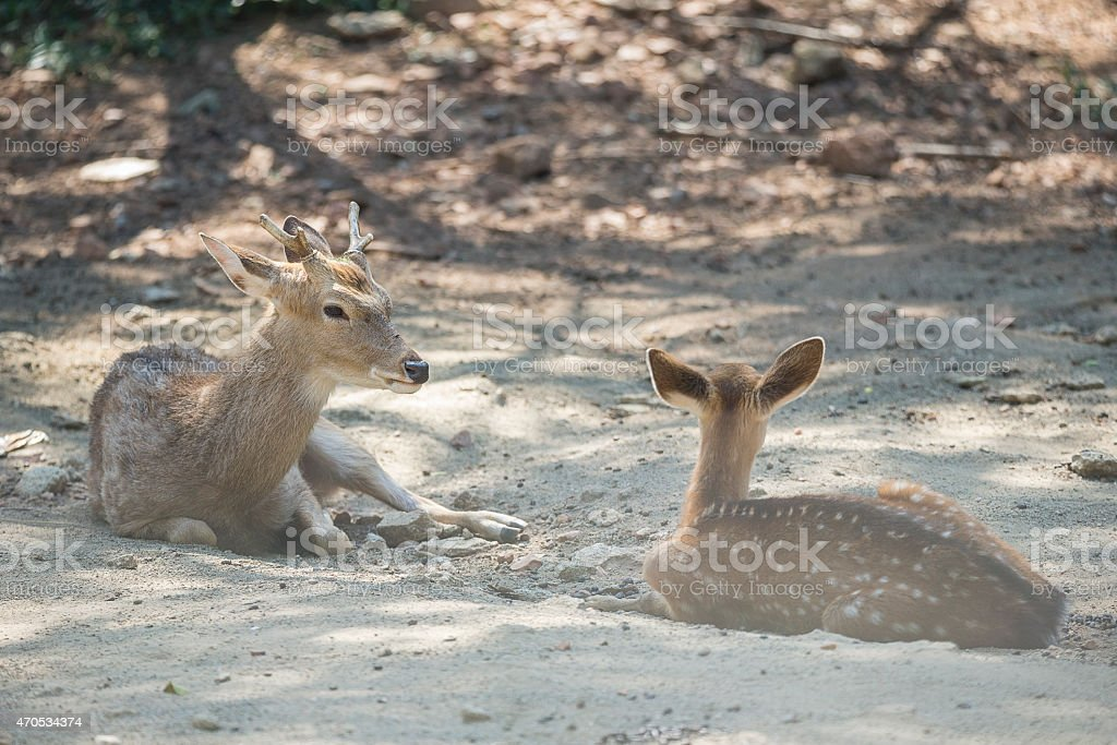 little Chital Deer in Thailand stock photo