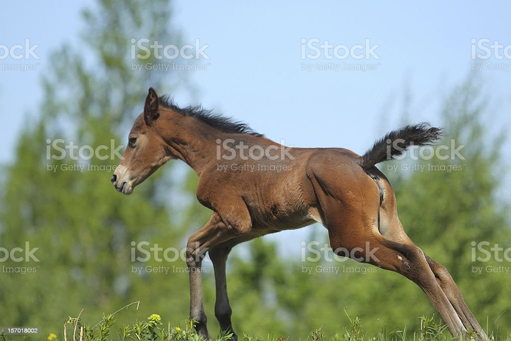 Little colt royalty-free stock photo