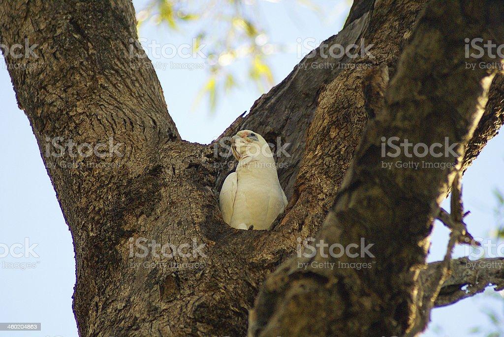 Little corella chick in a tree stock photo