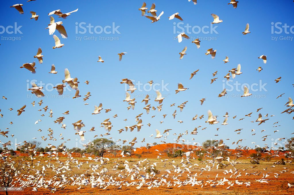 Little corellas outback stock photo