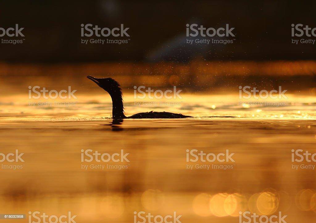 Little cormorant at sunset stock photo