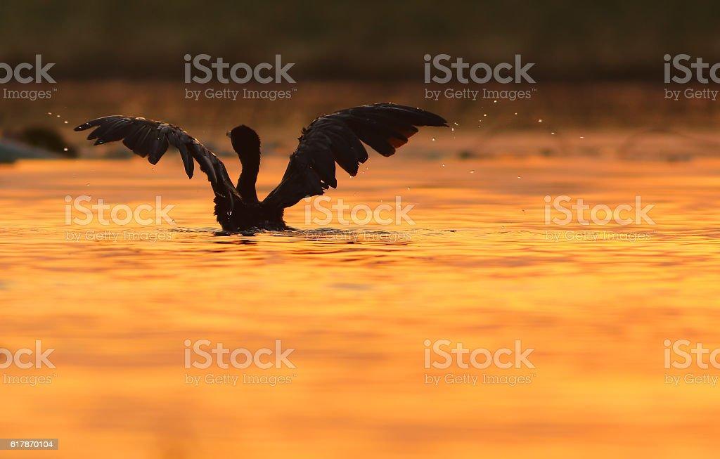 Little Cormorant stock photo
