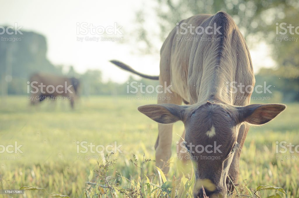 Little Cow on  beautiful sunny landscape royalty-free stock photo