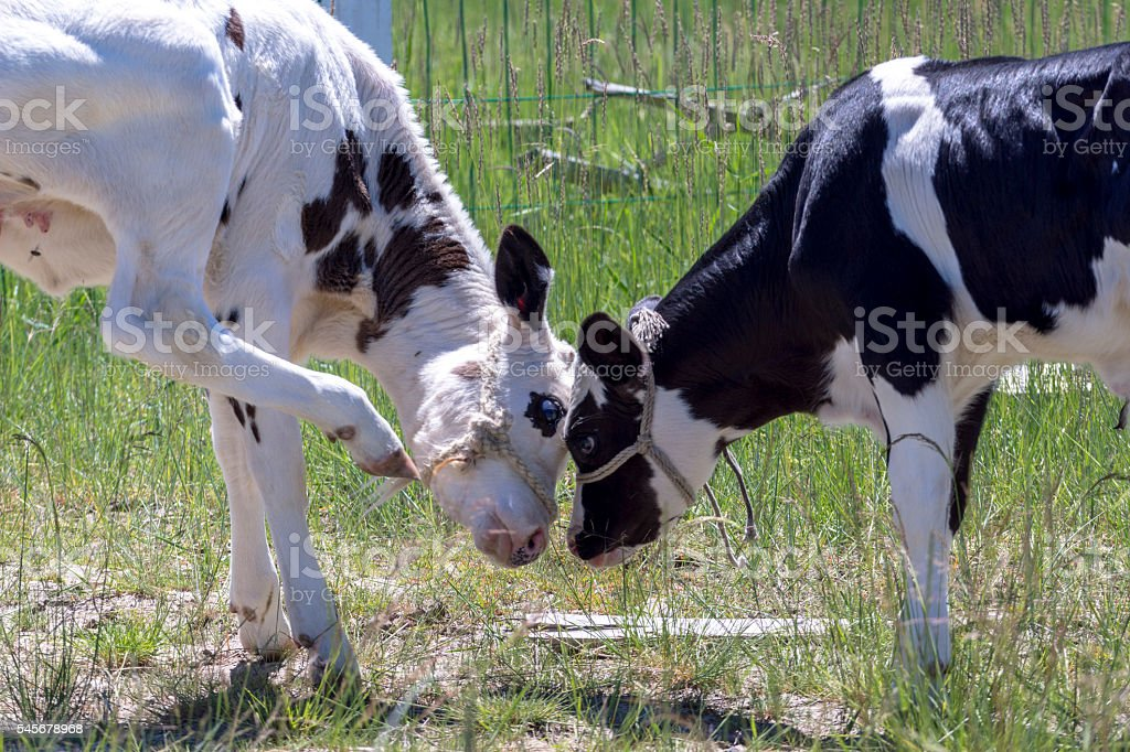 little cows playing with each other