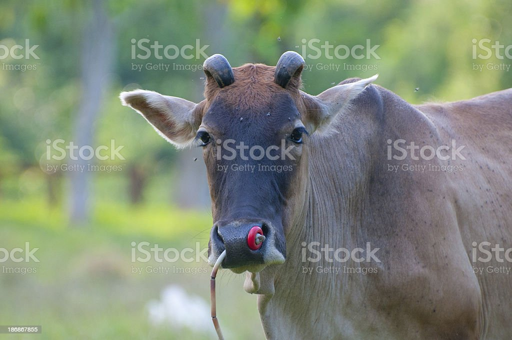 Little cowstanding alone in green field royalty-free stock photo