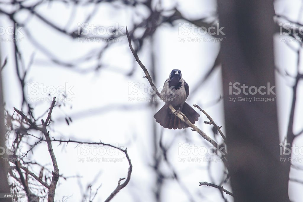 Little Crow sitting on a tree in Winter stock photo