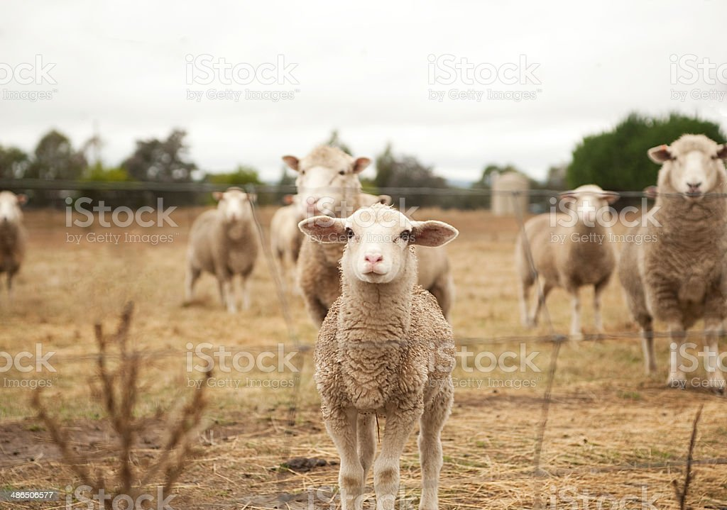 Little curious lamb stock photo