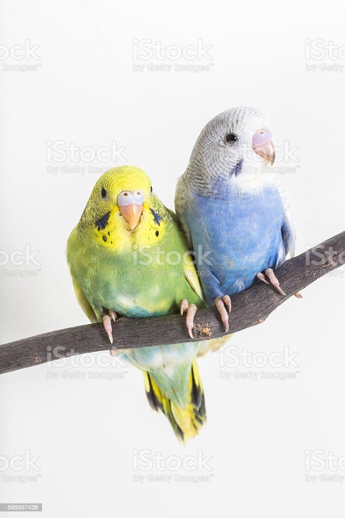 Little Cute Budgerigar, Budgie, Bird stock photo