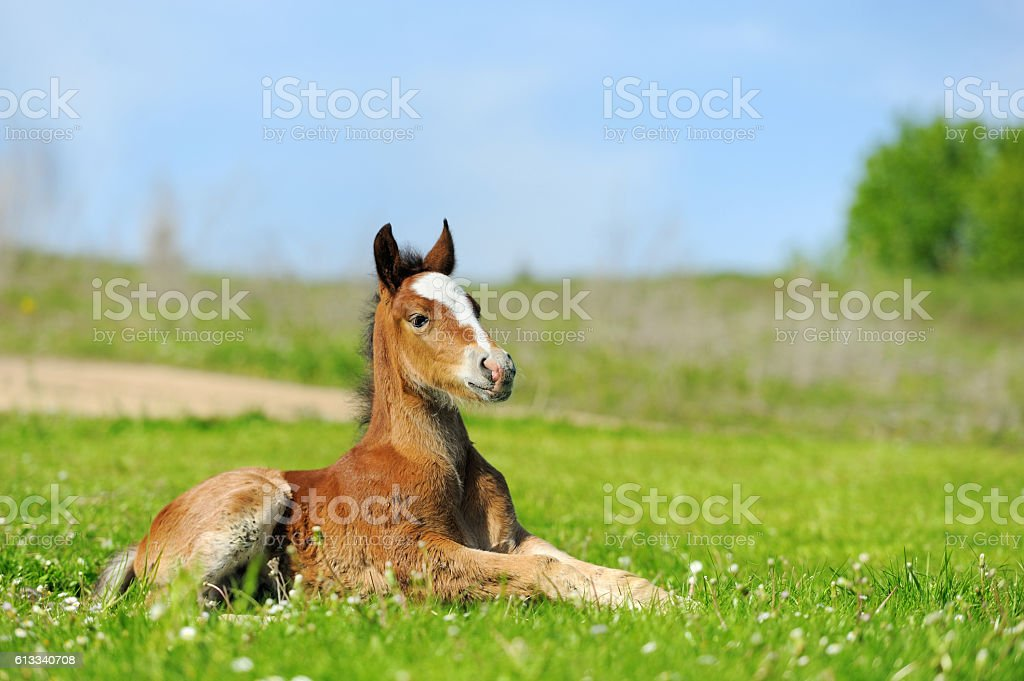 Little cute colt walk stock photo