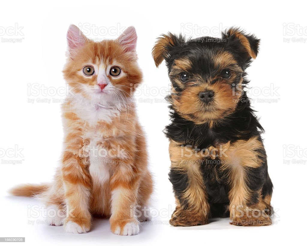 Little cute puppy and red kitten isolated on white royalty-free stock photo
