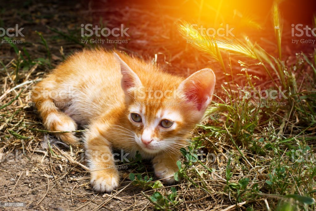 Little cute red kitten with big eye stock photo