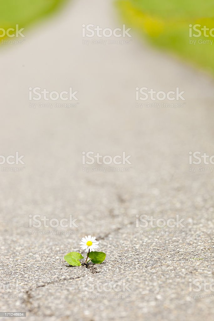 little daisy fighting own way trough asphalt royalty-free stock photo