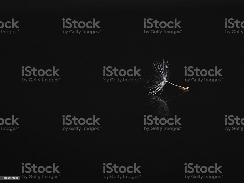 Mały Mniszek Nasiona na czarnym tle zbiór zdjęć royalty-free