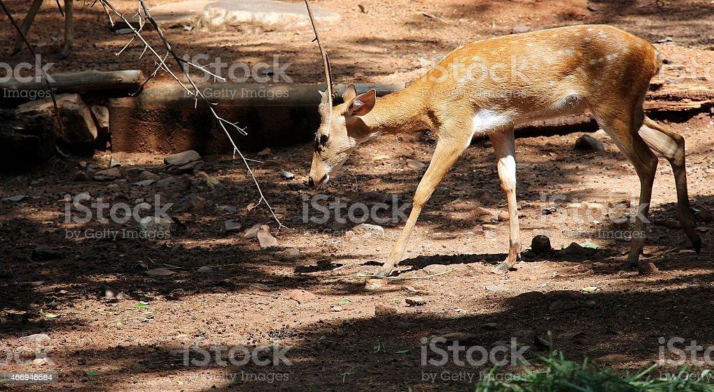 little deer photo libre de droits