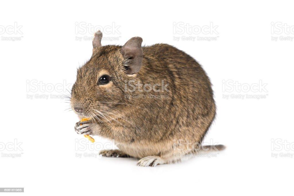 Little Degu isolated on a white background stock photo
