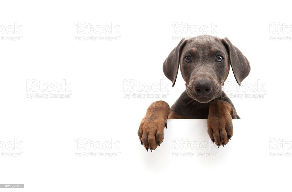 little doberman stock photo