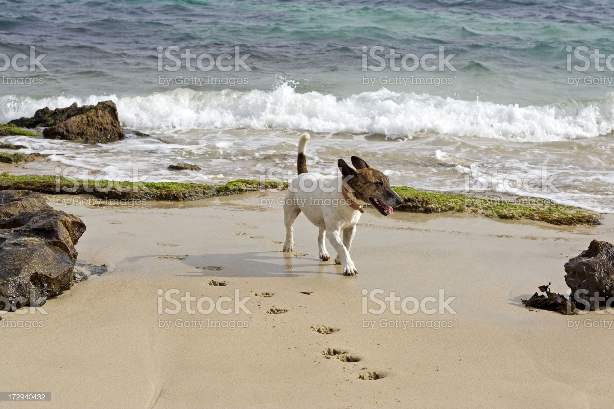 Little Dog At The Beach royalty-free stock photo