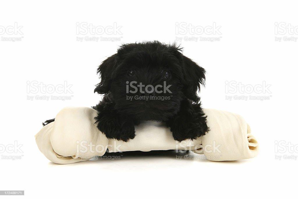 Little Dog Big Bone royalty-free stock photo