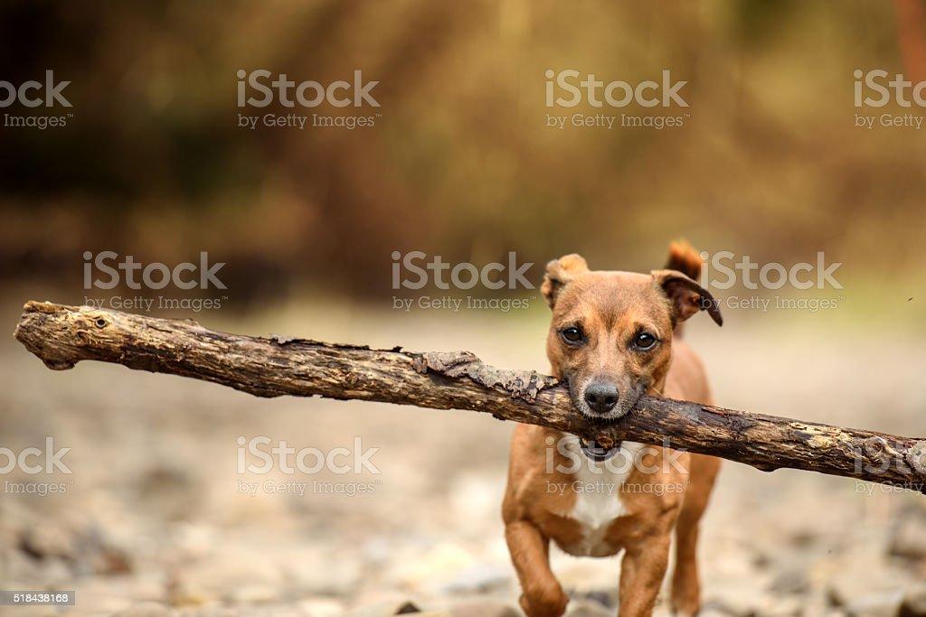 Little Dog, Big Stick stock photo