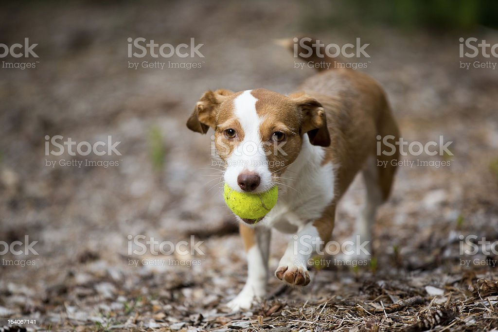 Little Dog Can Retrieve royalty-free stock photo