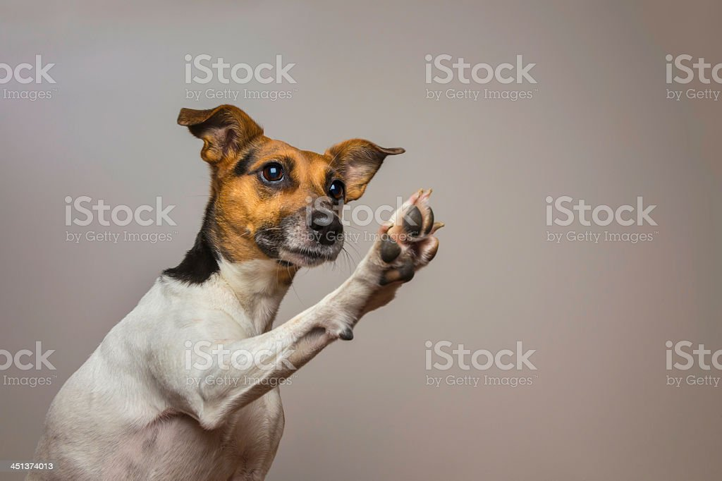 Little dog giving a High-five. stock photo