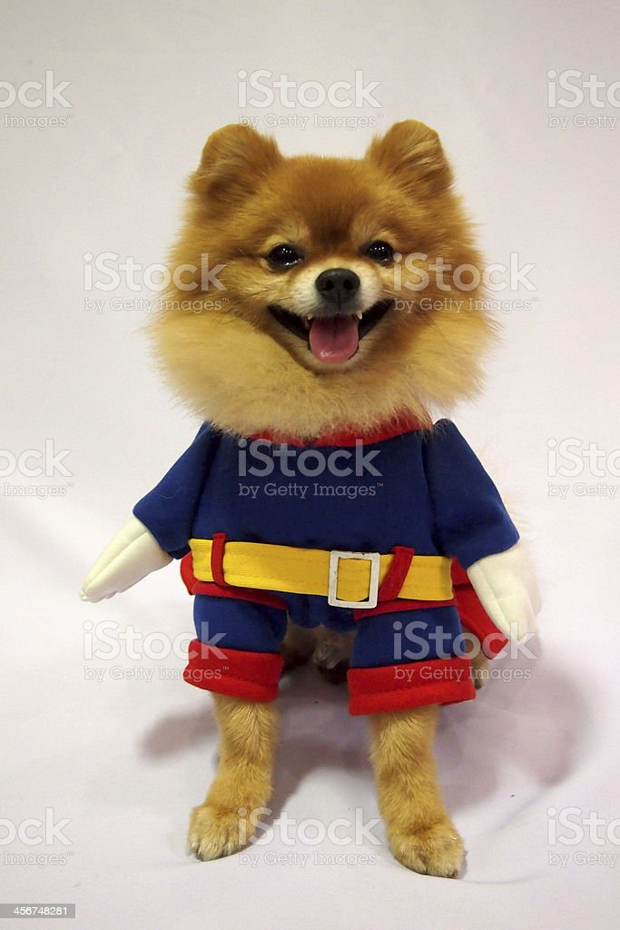 Little dog in costume stock photo