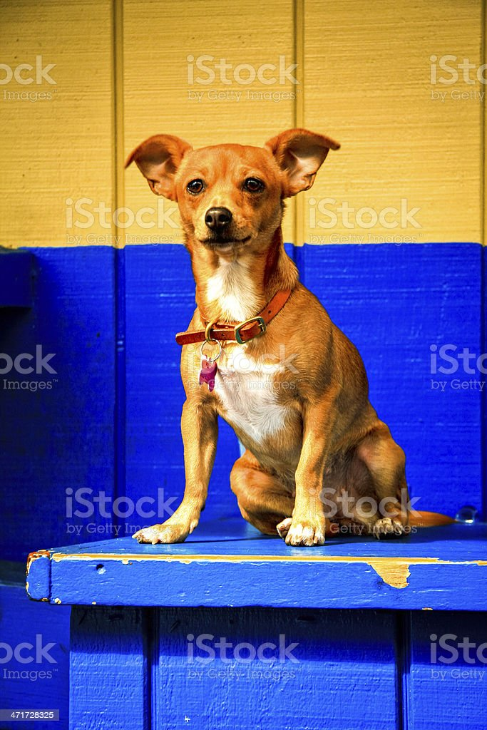 Little dog in front of colorful background royalty-free stock photo