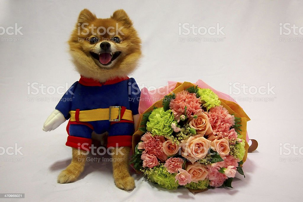 Little dog in superman costume and flower bouquet stock photo
