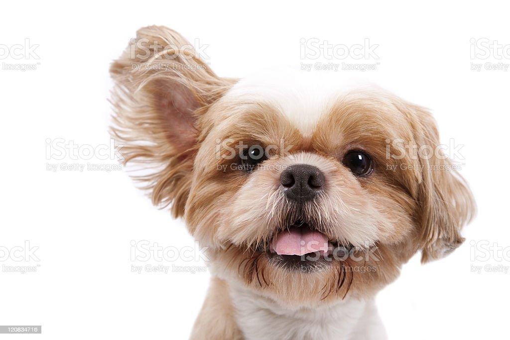 little dog listen and lift ear stock photo