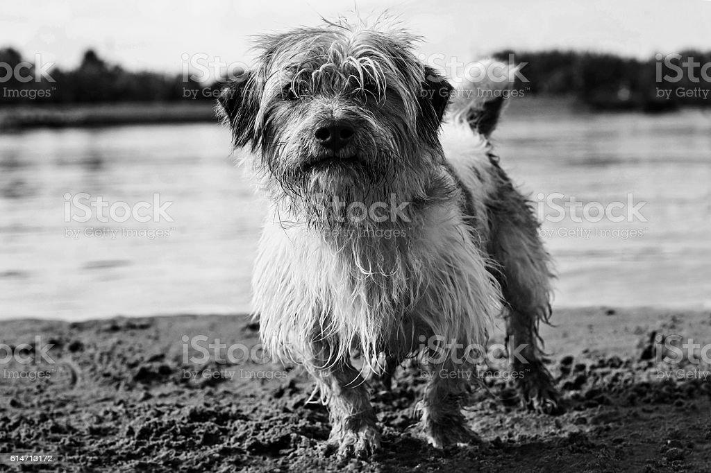 Little dog on the beach BNW stock photo