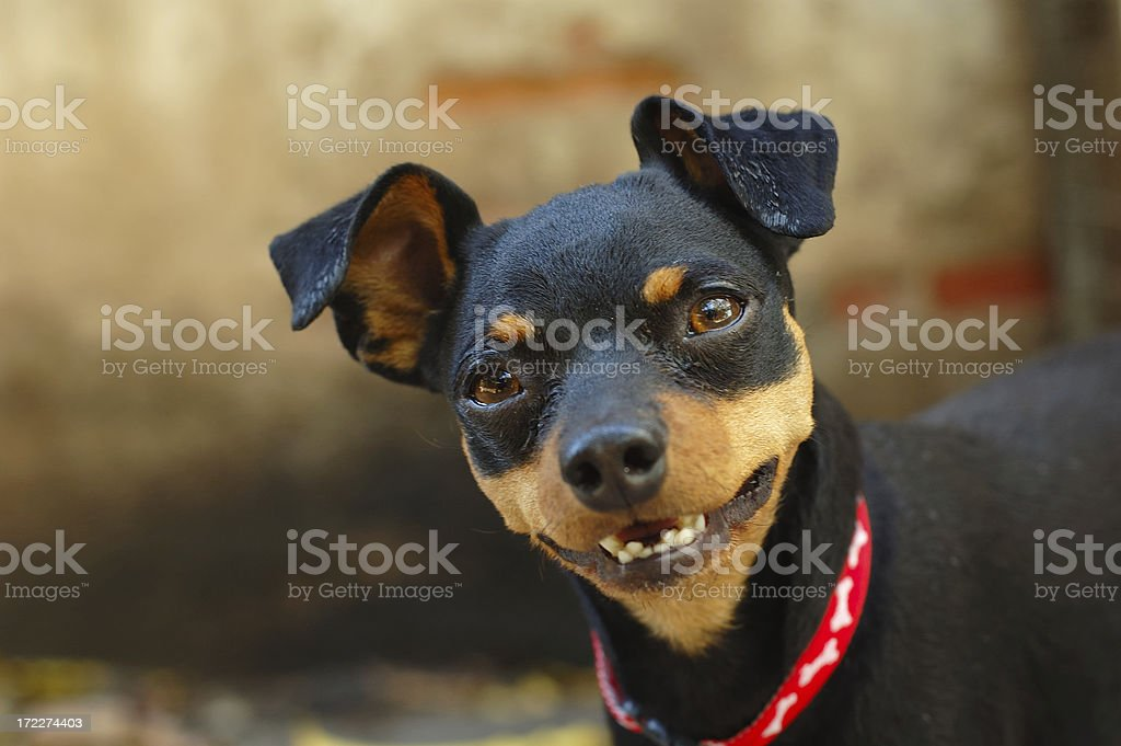 Little dog royalty-free stock photo