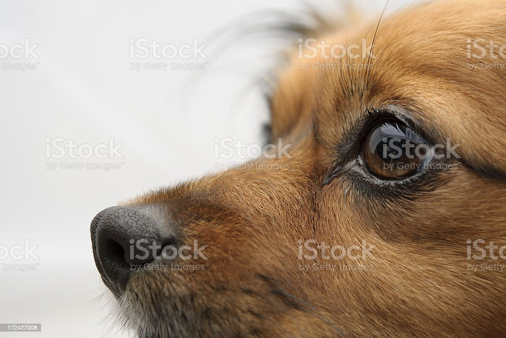 little dog portrait royalty-free stock photo