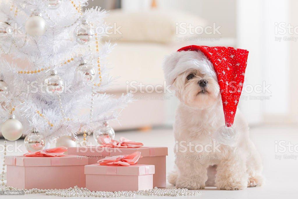 Little dog wearing Santa Claus hat stock photo